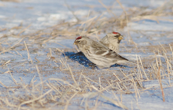 Hoary Redpoll and Common Redpoll flock Carlton Co MN IMG_5410