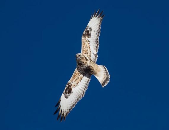 Rough-legged Hawk flying blue sky Finn Road Carlton Co MN IMG_5355