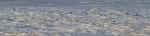 Snow Bunting flock CR27 Carlton Co MNIMG_5442