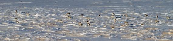 Snow Bunting flock CR27 Carlton Co MN IMG_5442