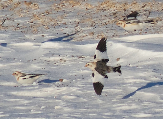 Snow Bunting flock CR27 Carlton Co MN IMG_5460