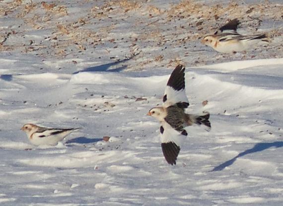 Snow Bunting flock CR27 Carlton Co MN IMG_5460
