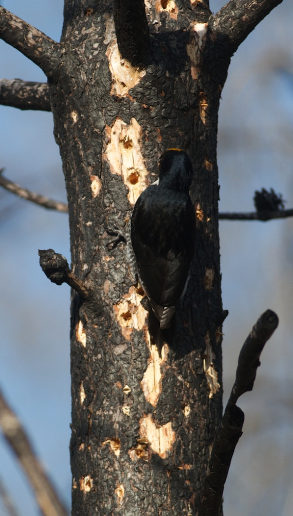 Black-backed Woodpecker Pagami Creek Fire burn Isabella Lake Superior National Forest Lake Co MN IMG_8274