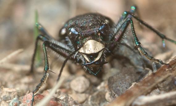 Cicindela longilabris White-lipped Tiger Beetle Superior National Forest Lake Co MN IMG_8017