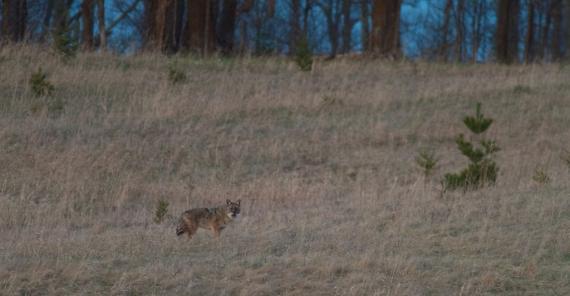Coyote hunting MN23 near Skogstjarna Carlton Co MN IMG_8354