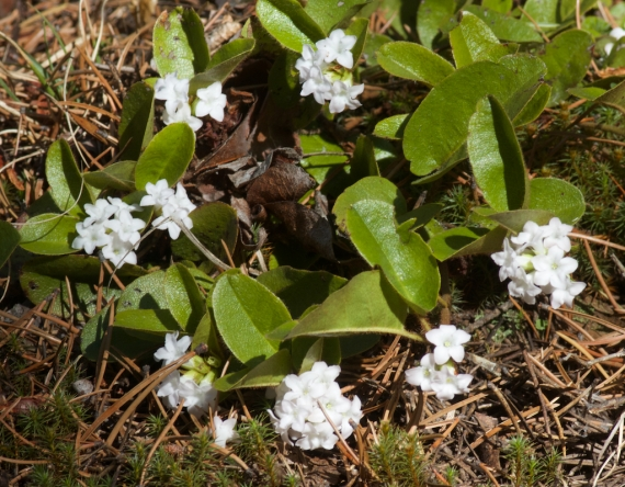 Epigaea repens Trailing Arbutus Echo Trail near Moose River Ely MN IMG_7956