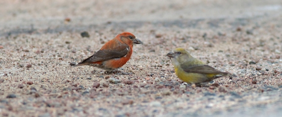 Red Crossbill Echo Trail Ely MN IMG_7855