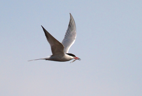 Common Tern Wisconsin Point Superior WI IMG_1519