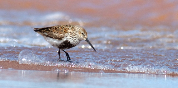 Dunlin Wisconsin Point Superior WI IMG_1291