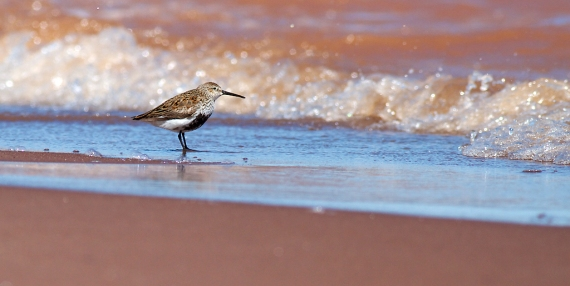 Dunlin Wisconsin Point Superior WI IMG_1292