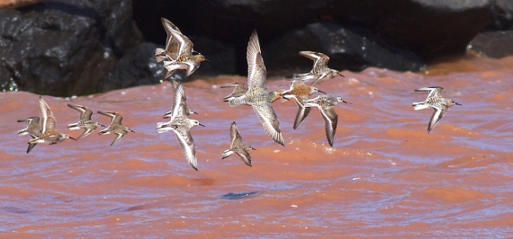 Shorebirds mixed flock Wisconsin Point Superior WI IMG_1341