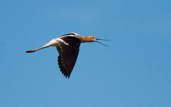 American Avocet flying Kidder County ND IMG_0889