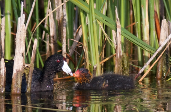 American Coot and juvenile IMG_0190 - Version 2