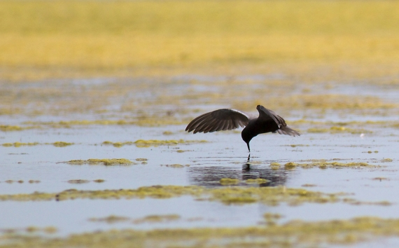 Black Tern Oak Hammock Marsh Manitoba IMG_0239