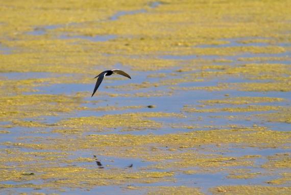 Black Tern Oak Hammock Marsh Manitoba IMG_0404