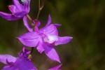 Calopogon tuberosus Swamp Pink orchidIMG_2153