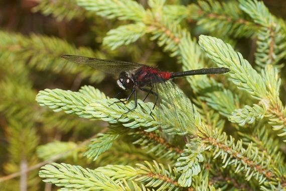 Crimson-ringed Whiteface Leucorrhinia glacialis IMG_2146