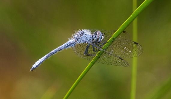 Elfin Skimmer male Nannothemis bella IMG_2109