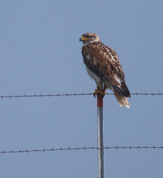 Ferruginous Hawk on fence post Kidder Co ND IMG_1365