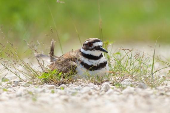 Killdeer nest Oak Hammock Marsh Manitoba IMG_0358