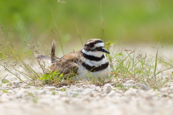Killdeer nest Oak Hammock Marsh Manitoba IMG_0358