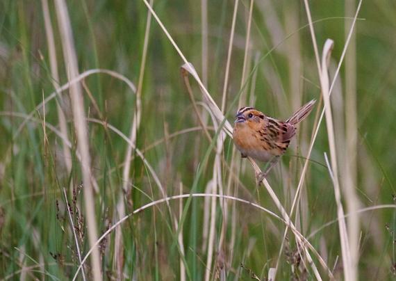LeConte's Sparrow Oak Hammock Marsh Manitoba IMG_0639