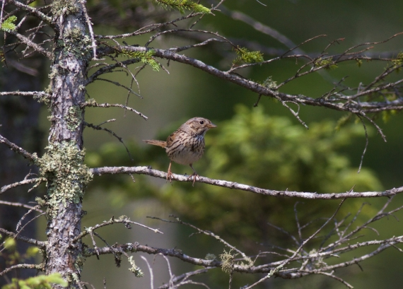 Lincoln's Sparrow IMG_2000