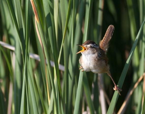 Marsh Wren Oak Hammock Marsh Manitoba IMG_0207