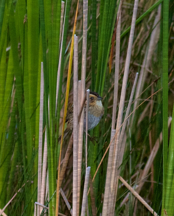 Nelson's Sharp-tailed Sparrow Oak Hammock Marsh Manitoba IMG_0647