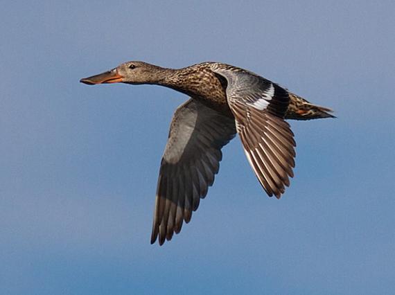 Northern Shoveler hen flight Oak Hammock Marsh Selkirk MB IMG_0340
