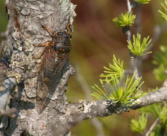Okanagana Cicada IMG_1949