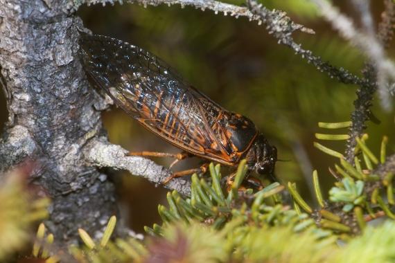 Okanagana Cicada IMG_2134