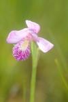 Pogonia ophioglossoides Rose PogoniaIMG_2048