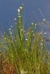 Rhynchospora alba White Beaksedge rushIMG_2019