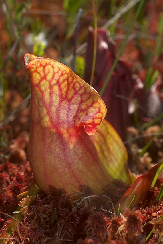 Sarracenia purpurea Pitcher Plant leaf IMG_1900