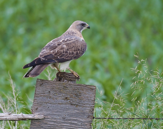 Swainson's Hawk Arrowwood NWR Stutsman County ND IMG_0729