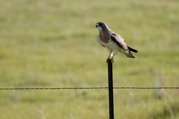 Swainson's Hawk fence post Kidder County ND IMG_0980