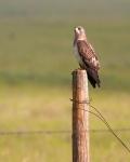 Swainson's Hawk Kidder Co NDIMG_1373