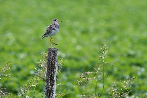 Upland Sandpiper on fence post Kidder Co ND IMG_1462