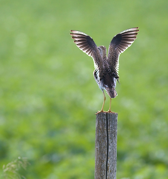 Upland Sandpiper on fence post Kidder Co ND IMG_1478