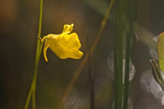 Utricularia cornuta Horned Bladderwort IMG_1952
