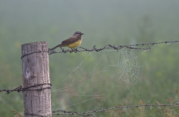 Western Kingbird foggy fence spider web Kidder Co ND IMG_1347