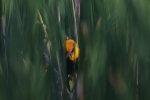 Yellow-headed Blackbird Horsehead Lake Kidder County NDIMG_0989