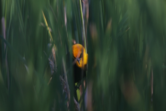 Yellow-headed Blackbird Horsehead Lake Kidder County ND IMG_0989