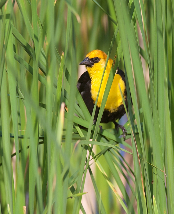 Yellow-headed Blackbird Oak Hammock Marsh Manitoba IMG_0264