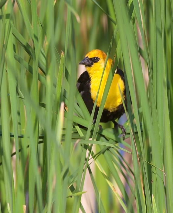 Yellow-headed Blackbird Oak Hammock Marsh Manitoba IMG_0264