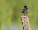 Black Tern Horsehead Lake Kidder County NDIMG_1053