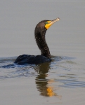 Double-crested Cormorant Kidder County ND IMG_1388
