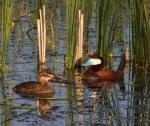 Ruddy Duck Horsehead Lake Kidder County NDIMG_1084