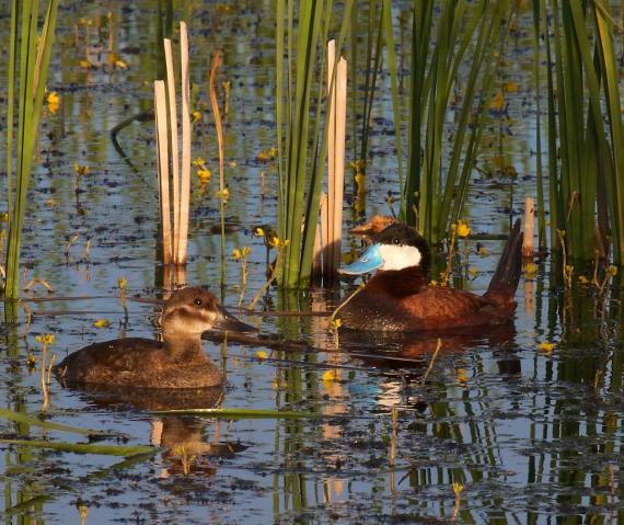 Ruddy Duck Horsehead Lake Kidder County ND IMG_1084